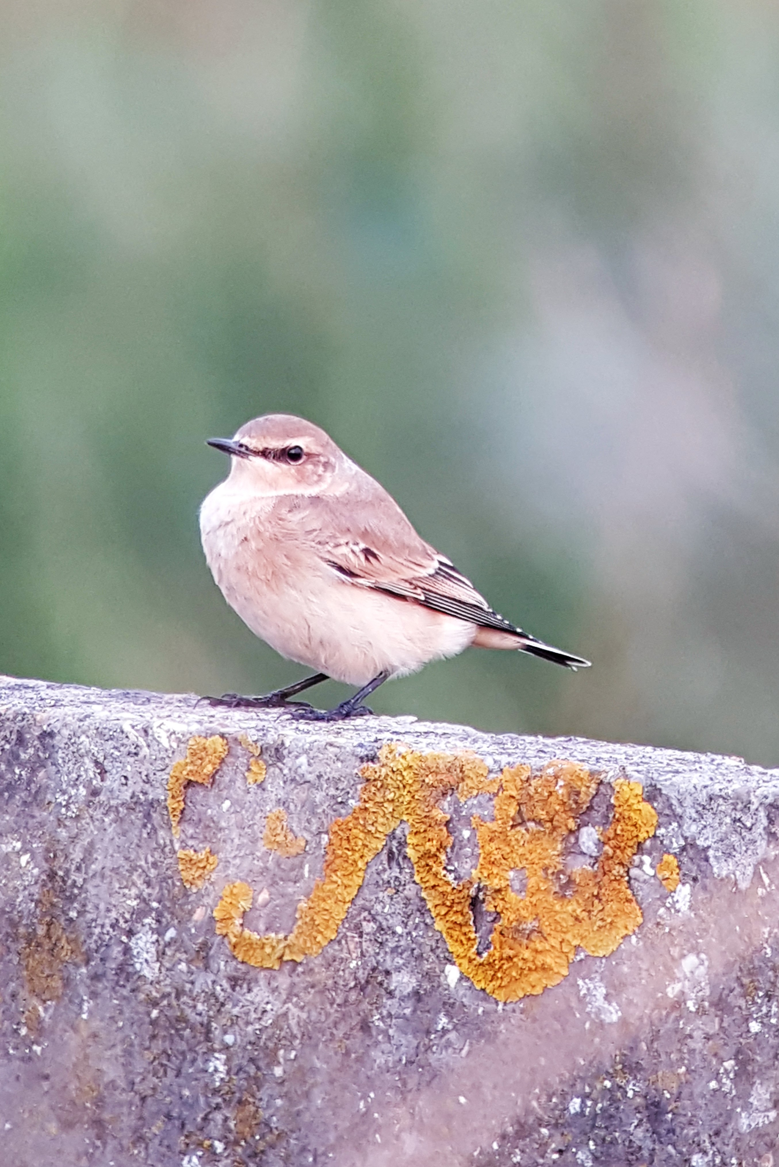 Wheatear at Hamford Water on 01 Aug 2019, (Matt Turner, ATS80/S6 -Canon SX50HS)