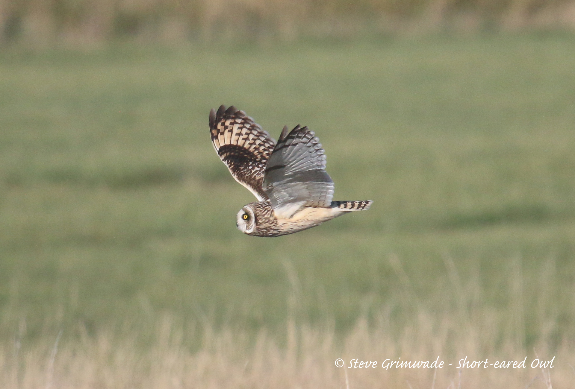 Short-eared Owl at Holland Haven on 21 Oct 2018, (Steve Grimwade, )
