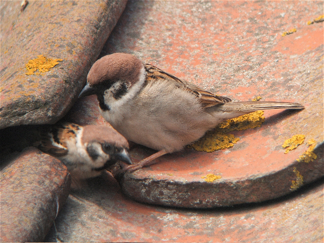 Tree Sparrow at Bempton - Sam