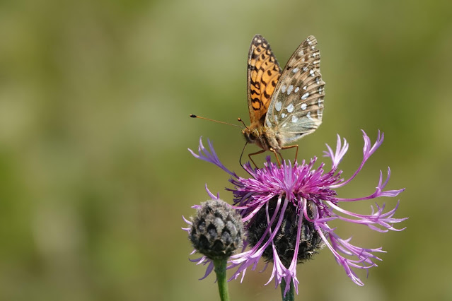 And Dark-green Fritillary at Lullingstone the same day was a new species for Sam