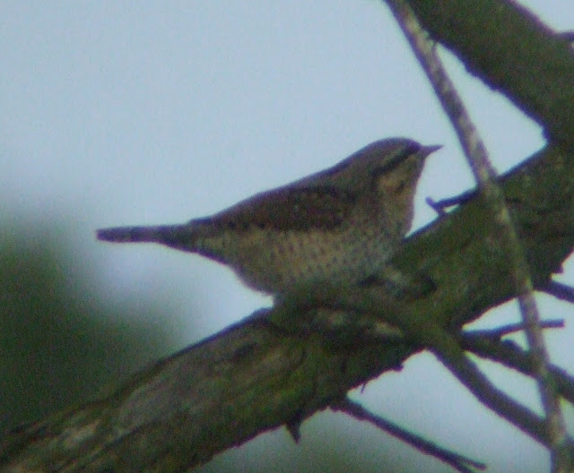 A Wryneck on Kelling Heath at dusk - 29th August 2008 - Sam painted me a picture of this very shot just a a couple of months ago