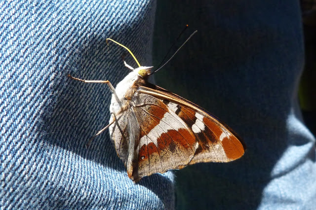 Purple Emperor on Deni's leg at Fermyn Woods - 23rd July 2012