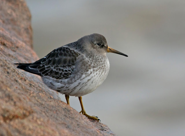 Purple Sandpiper at Ness Point - Sam