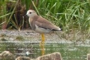 White-tailed Plover at RSPB Rainham Marshes - 7th July 2010