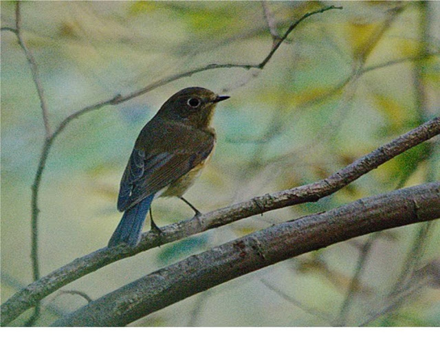 Red-flanked Bluetail - Wells Wood - 19th October 2015 - Sam