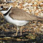 Little Ringed Plover at Abberton Reservoir on 21 Mar 2020, (David Curle)