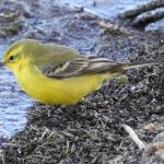 Yellow Wagtail at Abberton Reservoir on 21 Mar 2020, (David Curle)