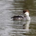Smew at Abberton Reservoir on 10 Dec 2018, (Paul Chamberlain)