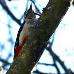 Great Spotted Woodpecker at Wivenhoe on 25 Mar 2020, (Michael Davies)
