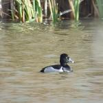 Ring-necked Duck at Abbotts Hall Farm NR EWT on 03 Dec 2018, (Matt Turner)