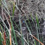 Kingfisher at Stanford Warren on 03 Sep 2019, (Mark Fisher)