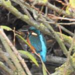 Kingfisher at Abberton Reservoir on 24 Oct 2020, (David Curle)