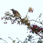 Fieldfare at Little Waltham on 28 Oct 2020, (David Saville, )