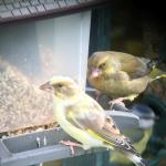 Greenfinch at Stambourne, near Steeple Bumpstead on 25 Oct 2020, (Ian Tarbin)