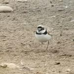 Little Ringed Plover at Russell Green GPs, near Chelmsford on 07 Jul 2020, (Brian Bolton)