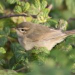 Dusky Warbler at Frinton-on-Sea on 17 Oct 2020, (Sean Nixon)