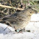 Rock Pipit at The Hythe, Colchester on 13 Feb 2021, (Sean Nixon)