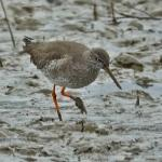 Redshank at Wivenhoe on 19 Feb 2021, (Michael Davies)