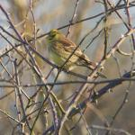 Yellowhammer at Great Notley on 24 Feb 2021, (Paul Everett)