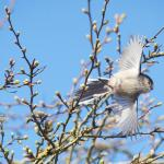 Long-tailed Tit at Great Notley on 24 Feb 2021, (Paul Everett)