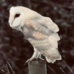 Barn Owl at Walton-on-The-Naze on 21 Feb 2021, (Claire Panting)