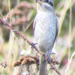 Red-backed Shrike at Holland Haven on 12 Sep 2019, (Paul Kingston)