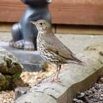 Song Thrush at Wickford on 14 Apr 2019, (David Hale)