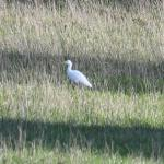 Cattle Egret at Old Hall Marshes NR RSPB on 28 Oct 2020, (Brian Bolton)