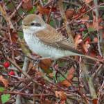 Red-backed Shrike at Holland Haven on 09 Sep 2019, (Ron Colson)
