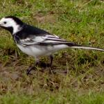 Pied Wagtail at West Canvey Marshes RSPB on 20 Mar 2020, (David Hale, NIKON BRIDGE.)