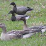 Pink-footed Goose at Copt Hall, Little Wigborough on 08 Dec 2018, (David Curle)