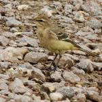 Yellow Wagtail at Abberton Reservoir on 10 Sep 2019, (David Hale)