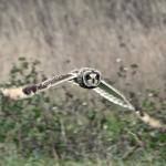 Short-eared Owl at Wallasea Island, Crouch/Roach Estuaries on 04 Dec 2018, (Peter Heath)