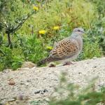Turtle Dove at Russell Green GPs, near Chelmsford on 06 Sep 2019, (Brian Bolton)