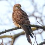Kestrel at University of Essex, Colchester on 12 Dec 2018, (Sean Nixon, )