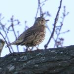 Mistle Thrush at University of Essex, Colchester on 12 Dec 2018, (Sean Nixon, )