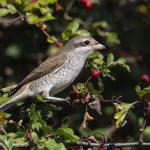 Red-backed Shrike at Holland Haven on 11 Sep 2019, (Sean Nixon)