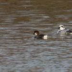 Smew at Abberton Reservoir on 07 Dec 2018, (Sean Nixon)