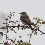 Spotted Flycatcher at Holland Haven on 11 Sep 2019, (Sean Nixon)