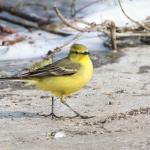 Yellow Wagtail at Abberton Reservoir on 15 Apr 2019, (Sean Nixon, )