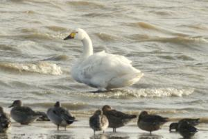 Bewick's Swan at Abberton Reservoir on 30 Nov 2016 (© Steve Grimwade, DIGISCOPED)