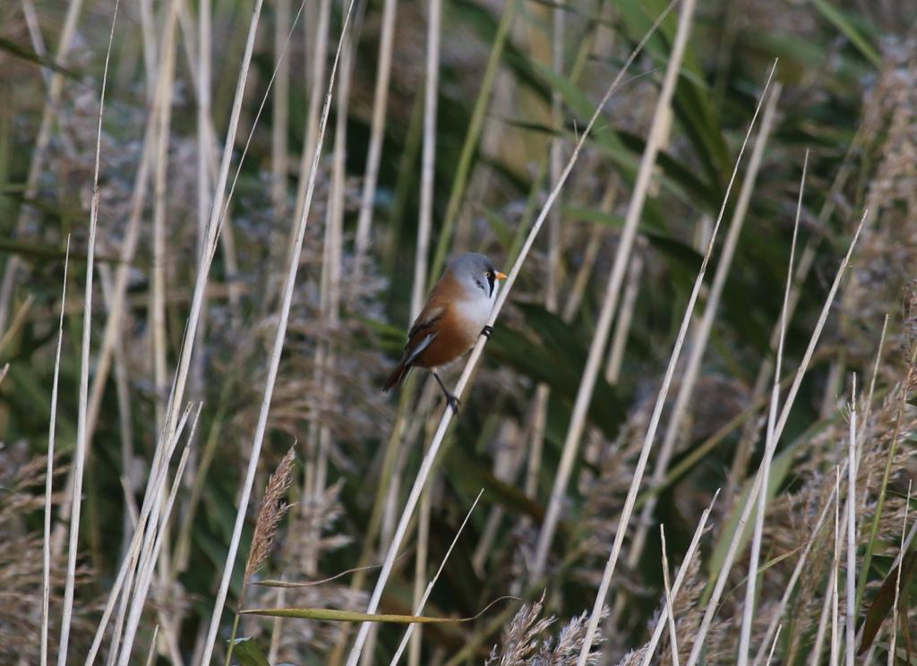 Bearded Tit at Old Hall Marshes NR RSPB on 19 Oct 2019, (Anthony Gales, )