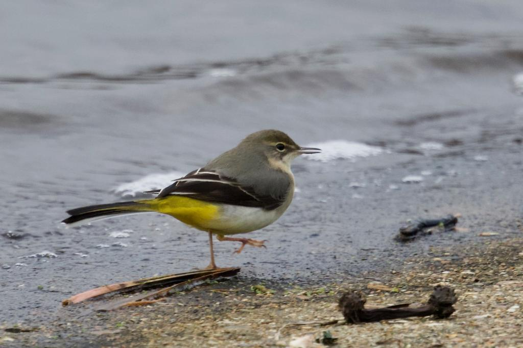 Grey Wagtail at Abberton Reservoir on 10 Dec 2018, (Paul Chamberlain, )