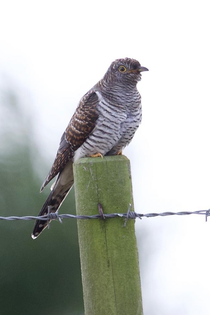 Cuckoo at Abberton Reservoir on 25 Sep 2019, (Paul Chamberlain, )