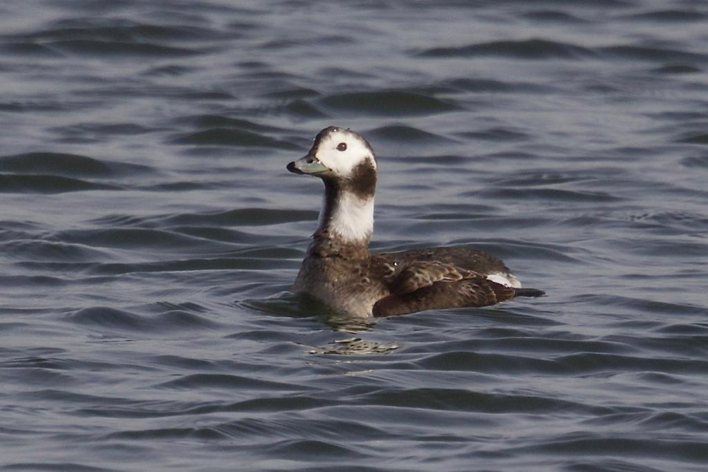Long-tailed Duck at Abberton Reservoir on 12 Feb 2019, (Paul Chamberlain, Canon 7D mk2 500mm lens + 1.4 extender)