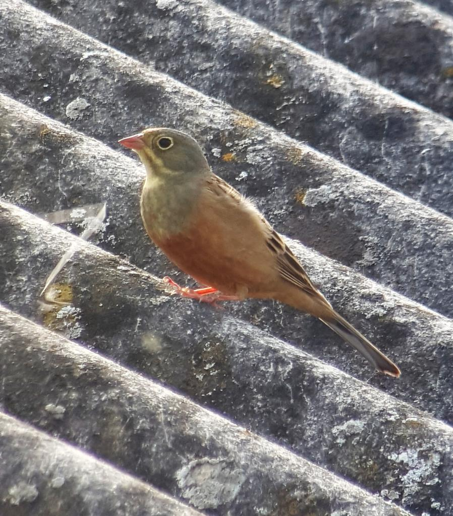 Ortolan Bunting at Abberton Reservoir on 24 Apr 2019, (Matt Turner, ATS80/S6 -Canon SX50HS)