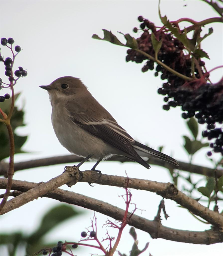 Pied Flycatcher at Naze, The on 22 Aug 2019, (Matt Turner, ATS80/S6 -Canon SX50HS)