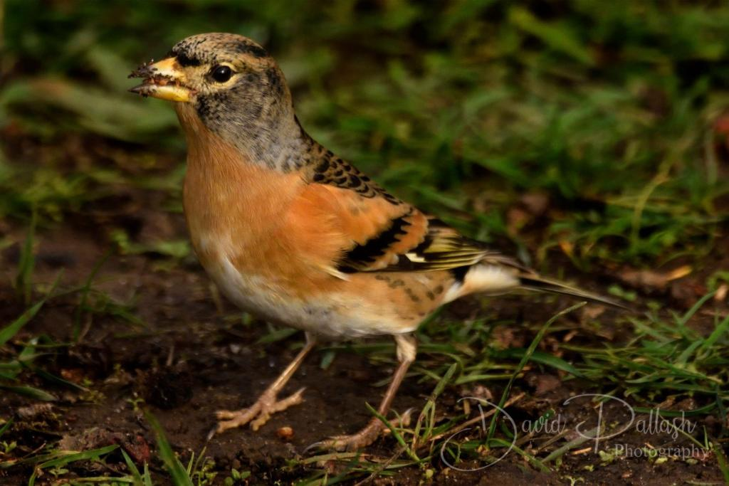 Brambling at Cudmore Grove CP, Mersea Island on 31 Oct 2020, (David Pallash, )