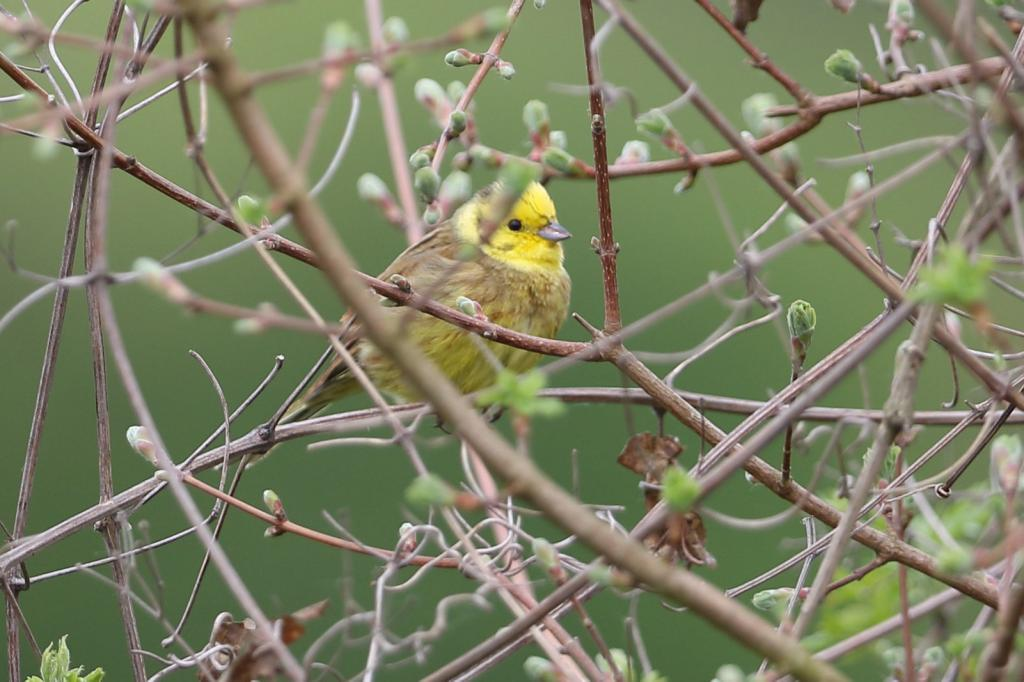 Yellowhammer at Little Waltham on 25 Apr 2019, (David Saville, canon 7d mk2 300 f2.8)