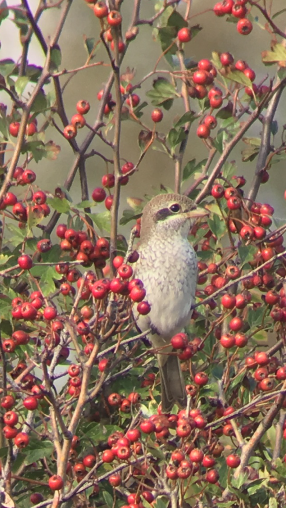 Red-backed Shrike at Holland Haven on 12 Sep 2019, (Paul Kingston, iPhone through scope)